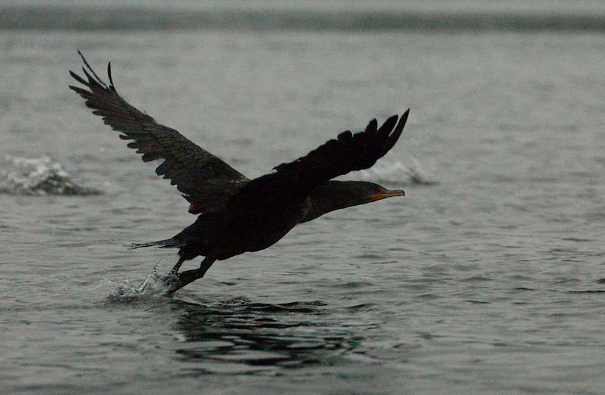 Double-Crested Cormorant (Phalacrocorax auritus) Takes Flight, Castine, Maine, US