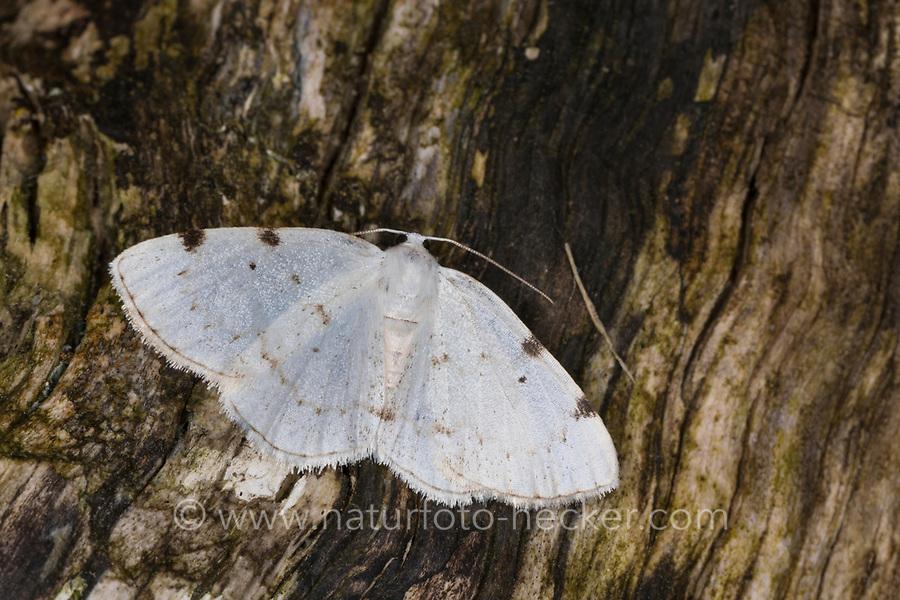 Zweifleck-Weißspanner, Zweifleck-Weissspanner, Weißspanner, Lomographa bimaculata, Bapta bimaculata, white-pinion spotted, Spanner, Geometridae, looper, loopers, geometer moths, geometer moth