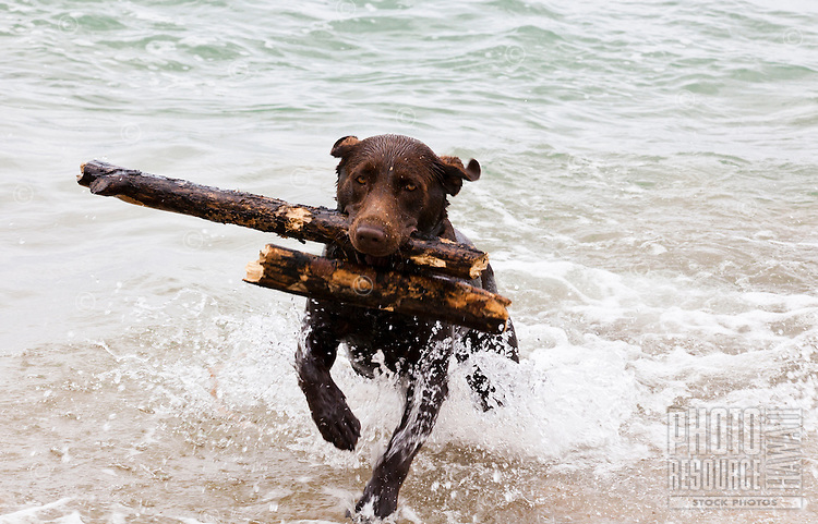 Dog fetching sticks from the ocean
