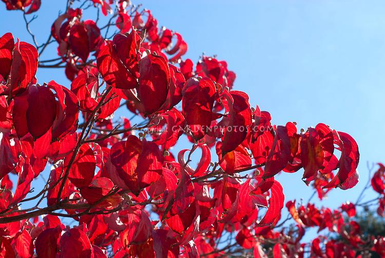 Cornus florida in autumn color Common Dogwood tree shrub in red fall foliage  Cherokee Chief