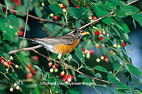01382-04506 American Robin (Turdus migratorius) in Shadblow Serviceberry bush (Amelanchier canadensis) Marion Co.  IL