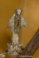1110-0805  Malaysian Dead Leaf Mantis, Deroplatys lobata © David Kuhn/Dwight Kuhn Photography.