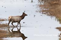01980-02813 Elk (Cervus elaphaus) cow female crossing stream, Yellowstone National Park, WY