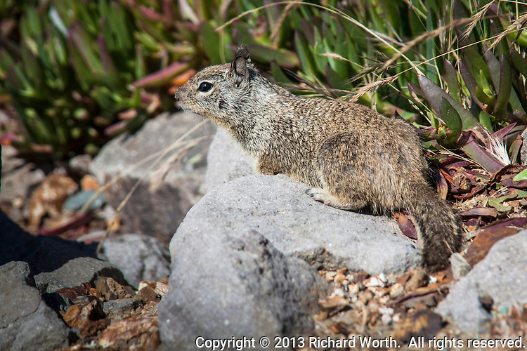 One of the many ground squirrels that abound along the path adjacent to the Harbor Bay Parkway in Alameda, California, stops and poses.