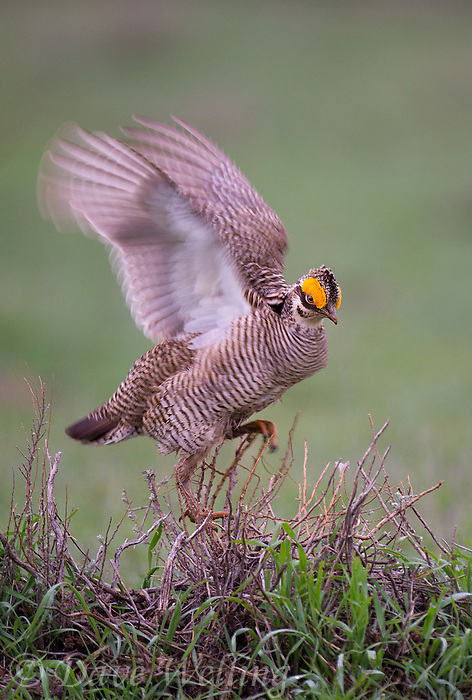 572110228 a wild lesser prairie chicken tympanuchus pallidicintus displays and struts on a lek on a remote ranch near canadian in the texas panhandle