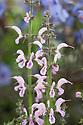 Salvia 'Eveline'
