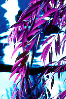 IMAGES MADE WITH INFRARED FILM<br /> Willow Leaves<br /> Infrared film responds to the invisible, infrared portion of the spectrum in addition to visible light