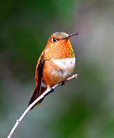Adult male rufous hummingbird on twig