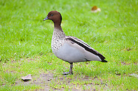Australian Wood Duck male, Botanical Gardens, Sydney