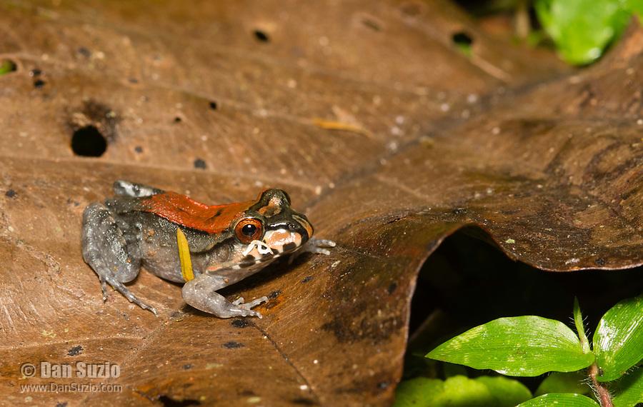 Smoky Jungle Frog, Leptodactylus pentadactylus, metamorph, at Tirimbina Biological Reserve, Costa Rica