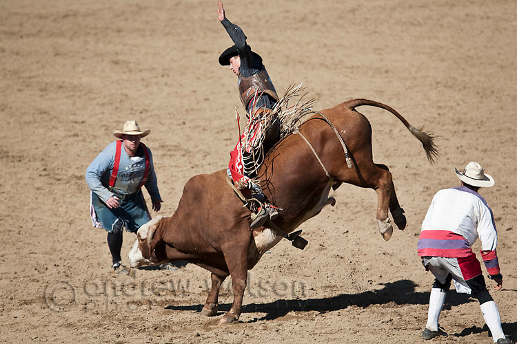 Bull rider in action watched by protection clowns.  Mareeba Rodeo, Mareeba, Queensland, Australia