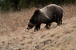 Grizzly bear in Yellowstone National Park, Wyoming, USA, and January 10th 2009.  Photo by Gus Curtis