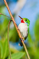 A Cuban Tody (Todus multicolor) in the heart of the Zapata Swamp, near Santo Tomás. Cuba.