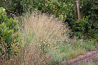 California fescue grass (Festuca californica) in native plant front yard with retaining wall, lawn substitute meadow garden
