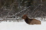 A cow elk is seen sitting in a snowfield near the edge of a forest in Banff National Park, Alberta, Canada.