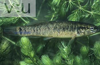 Central Mud Minnow ,Umbra limi,. Central USA.