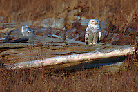 Snowy Owls (Bubo scandiacus) Female or Juvenile, sitting on Frost Covered Log at Boundary Bay Regional Park, Delta, BC, British Columbia, Canada - aka Arctic Owl, Great White Owl or Harfang.