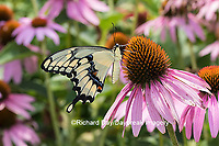 03017-01010 Giant Swallowtail butterfly (Papilio cresphontes) on Purple Coneflower (Echinacea purpurea)  Marion Co., IL