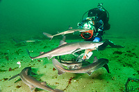Drysuit Diver filming a group of Spiny dogfish, squalus acanthias, feeding on scraps of Atlantic salmon. Quadra Island, British Columbia, Canada, Pacific Ocean