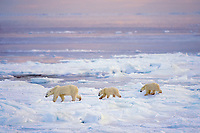 Polar bear (Ursus maritimus)--sow with cubs walking on ice along shore of Hudson Bay.