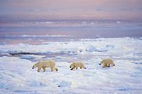 Polar bear (Ursus maritimus)--sow with cubs walking on ice along shore of Hudson Bay.