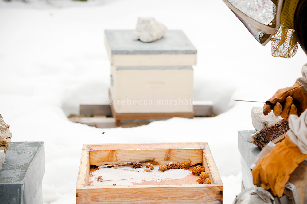 Beekeeper Amanda Dowd investigates the tray at the top of one of her beehives in preparation for transhumance, Seranon, Alpes Maritimes, France, 18 February 2014. The white layer that can be seen is crystallised sugar. Amanda prefers to let her bees feed on their own honey stores through the winter normally, but was compelled to feed them sugar syrup once a month last winter to compensate for the drastic loss of stores consequent to the ongoing siege of the Asian Hornet the previous summer.