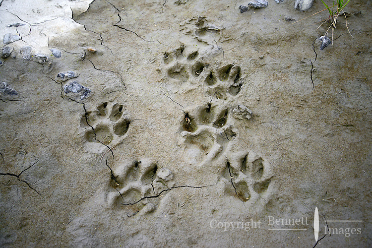 Wolf tracks are preserved in the mud along the Sheenjek River, which flows south from Alaska's Brooks Range into the Yukon River Flats, in the Arctic National Wildlife Refuge in late August.
