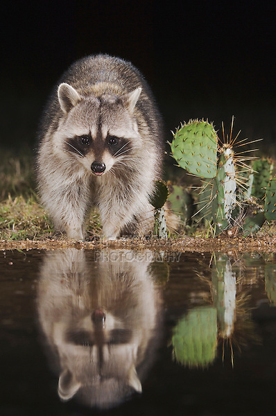 Northern Raccoon, Procyon lotor, adult at night, Uvalde County, Hill Country, Texas, USA, April 2006