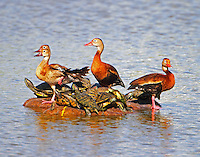 Adult and juvenile Black-bellied Whistling-ducks share a float with red-eared sliders