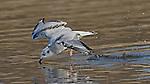 Bonaparte's Gull (Larus philadelphia). Pomponio State Beach. San Mateo Co., Calif.