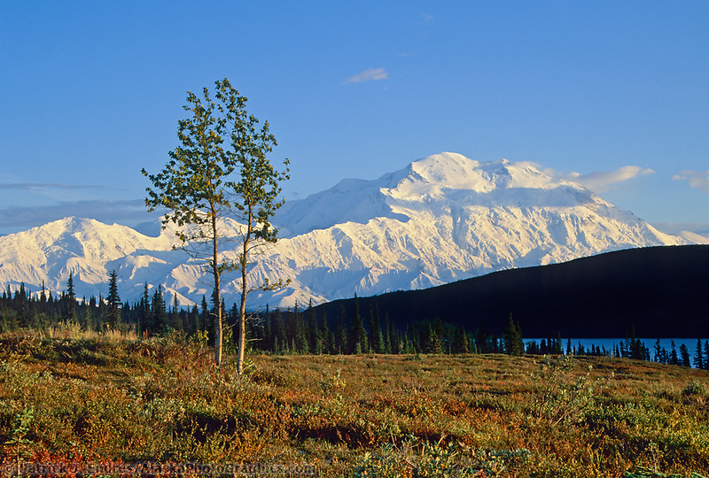 Aspen Tree On The Tundra With Sunset Light On Mt. Denali, Denali National Park, Alaska