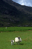 Sheep roam freely over the lush grassland at Camasunary Bay below the Cuillin Mountains