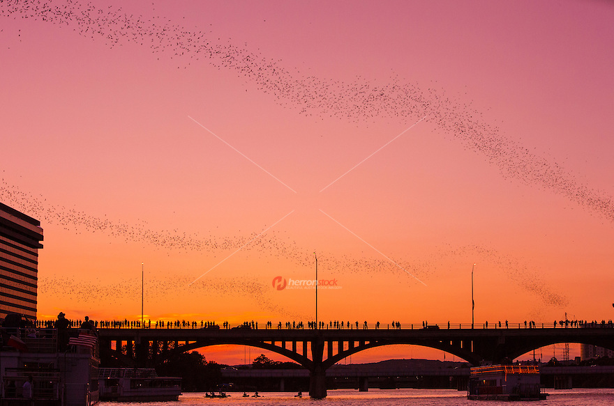 Ann W. Richards Congress Avenue Bridge is home to the world's largest urban bat colony, which is composed of Mexican free-tailed bats. The bats reside beneath the road deck in gaps between the concrete component structures. They are migratory, spending their summers in Austin and the winters in Mexico. According to Bat Conservation International,[3] between 750,000 and 1.5 million bats reside underneath the bridge each summer. Since Austin's human population is about 750,000, there are more bats than people in Austin during summer.