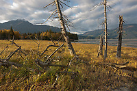 Dead spruce trees along the Turnagain Arm, remnants of the 1964 earthquake saltwater infusion, Chugach mountains, Chugach National Forest, southcentral, Alaska.