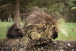 North American porcupine, Washington