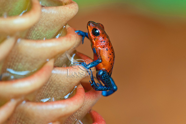 Blue-jeans Frog or Strawberry poison frog or Strawberry poison-dart frog (Oophaga pumilio) on Beehive Ginger (Zingiber spectabile)