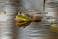 Bullfrog in water with reflection