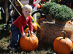 A Young Boy Exploring a Pumpkin at the Orchard, New Hampshire USA