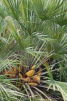 Europäische Zwergpalme, Zwerg-Palme, Blüten, Palme, Chamaerops humilis, Mediteranean Fan Fern, Palmito, European Fan Palm, Mediterranean Fan Palm, Palmier nain, Sizilien, Italien