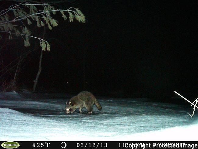 Raccoon on Frozen Allowance Brook, Lyons-Cutler Property, Sudbury, MA
