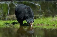 Wild Black Bear (Ursus americanus) boar drinking from pond.  Western U.S., Spring.