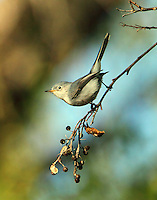 Blue-gray gnatcatcher in January