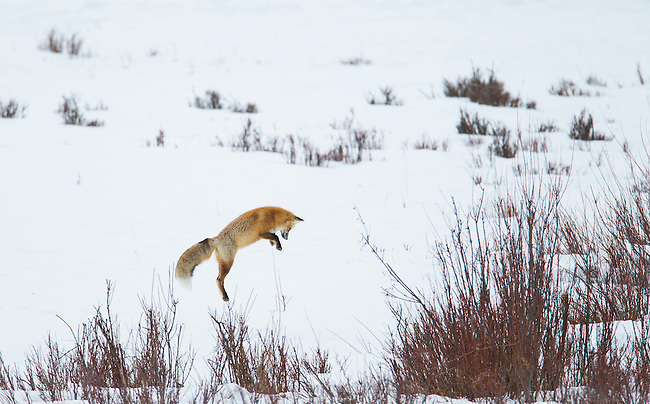A fox pounces to catch a vole hidden under the snow in Yellowstone National Park in Wyoming, USA, on Feb 10Th 2015.  Photo by Gus Curtis.