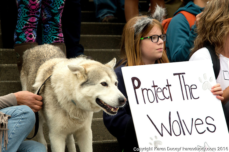 Handsome, a 10 year-old wolf hybrid belonging to Kathy Barth-Sheets from Brinnon, Wash, takes a stand with Gina Nunez, 11, from Buckley, Wash. during a rally outside the Washington Department of Fish and Wildlife (WDFW) headquarters in Olympia, Washington against the killing of the Profanity Peak wolf pack in eastern Washington on September 1, 2016. (photo © Karen Ducey Photography)