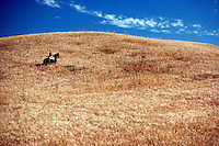 .Farmer on horseback inspects his barley crop, near Cordoba, southern Spain...