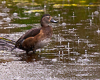 Female ring-necked duck in the rain at Ridgefield National Wildlife Refuge