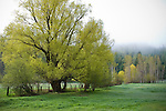 Idaho,Coeur d'Alene. A green pasture with deciduous trees and fence on a foggy morning in spring.