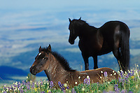 Wild Horse colt in foreground (herd stallion in background).  Western U.S., Summer..(Equus caballus)
