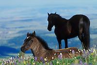 Wild Horse colt in foreground (herd stallion in background).  Western U.S., Summer..(Equus caballus)