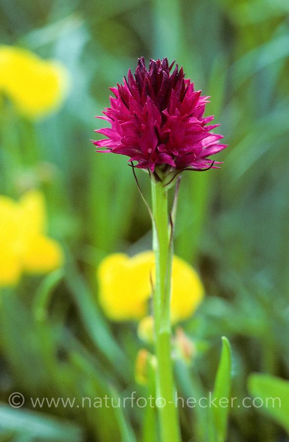 Rotes Kohlröschen, Nigritella rubra, Nigritella miniata, Red Vanilla Orchid